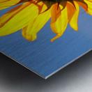 Glowing Heliopsis Metal print