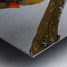 Cardinal ap 1729 Metal print