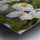 Poirier en fleurs 2 Metal print