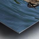 Close up of a pair of Horned Puffins being affectionate, Kodiak, Southwest Alaska Metal print
