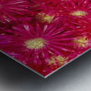 Trailing Ice Plant (Lampranthus Spectabilis) Metal print