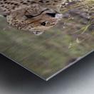 Cheetah (Acinonyx Jubatus), Masai Mara National Reserve, Kenya, Africa; Cheetah On The Prowl Metal print