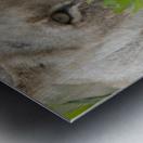 Lioness, Kenya, Africa Metal print