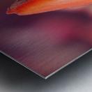 Woodburn, Oregon, United States Of America; Close Up Of A Closed Tulip Metal print