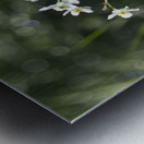 Buttercup (Ranunculus platanifolius); Black Forest, Germany Metal print