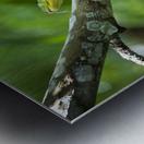 Green tree snake (Dendrelaphis punctulata); Madang Province, Papua New Guinea Metal print