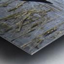 Northern Shoveler 1VP Metal print