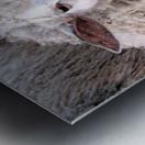 Lamb in the Winter VP1 Metal print