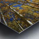 Colorado, Near Steamboat Springs, Buffalo Pass, Yellow Aspen Tree Canopy. Metal print