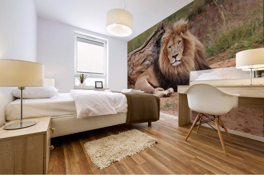 Brown Lion Male 9027 Mural print