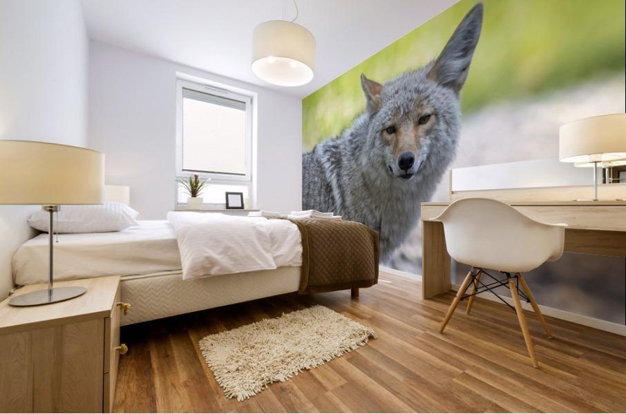 Coyote - Looking at you. Mural print