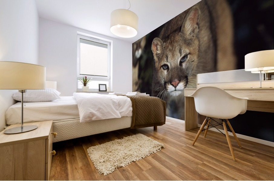 Mountain lion cub (Felis concolor) walking on snow toward camera, mother in background; Montana, Usa Mural print