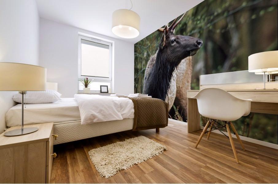 Roosevelt Elk (Cervus Canadensis Roosevelti); Olympic National Park, Washington, Usa Mural print