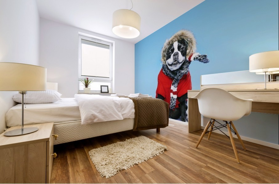 French bull terrier wearing jacket on blue background; Toronto, Ontario, Canada Mural print