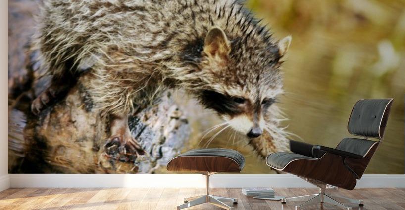 Raccoon Fishing - PacificStock - Canvas Artwork