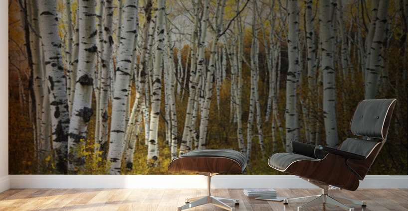 Colorado steamboat aspen tree trunks in grove yellow for Aspen tree wall mural