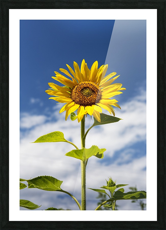 Low angle close up of a sunflower with blue sky and clouds; Alberta ...