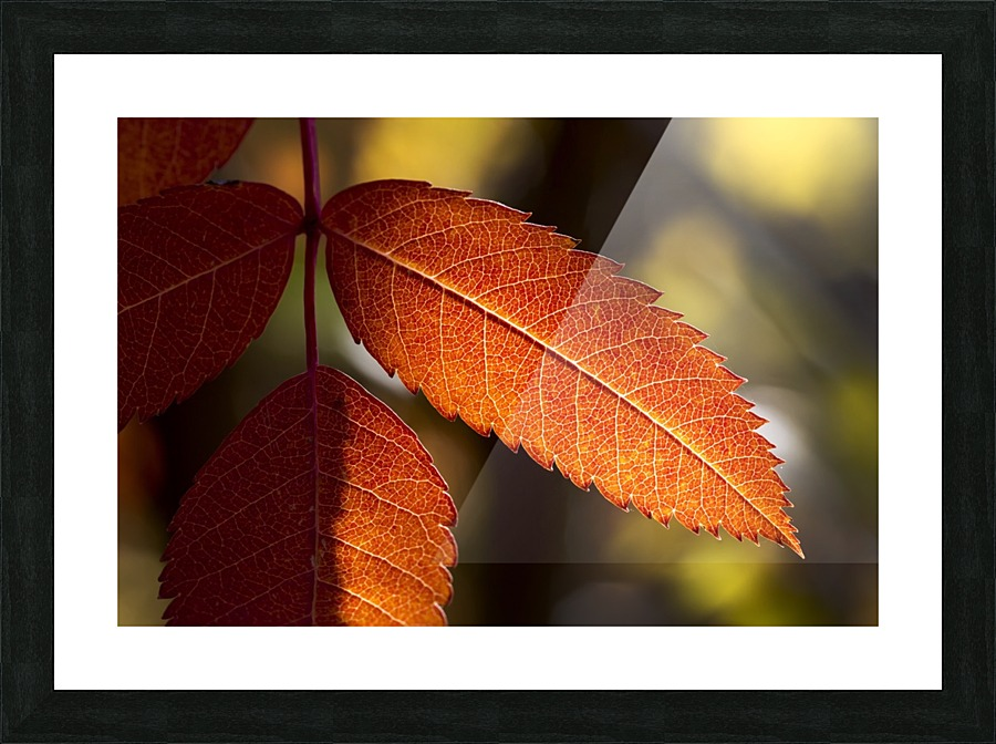 Close Up Of Colourful Mountain Ash Leaves In Autumn Back Lit By The