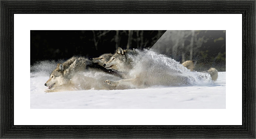 Pack Of Grey Wolves Running Through Deep Snow Captive Ak