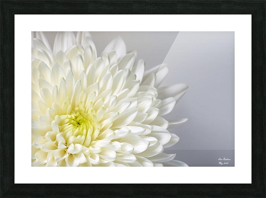 White mum flower crystalfind canvas white mum flower picture frame printing mightylinksfo