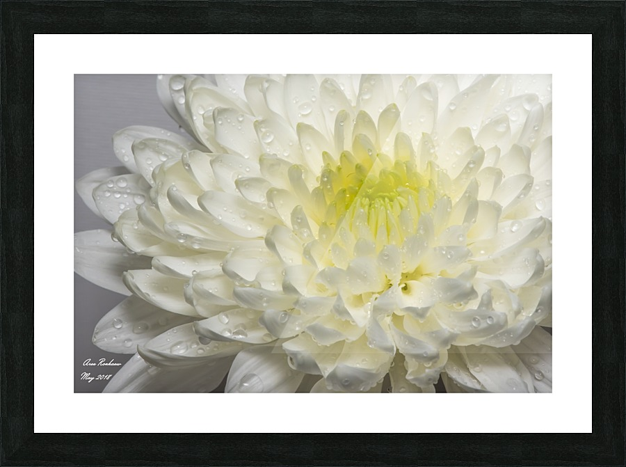 White mum flower with water droplets crystalfind canvas white mum flower with water droplets picture frame printing mightylinksfo