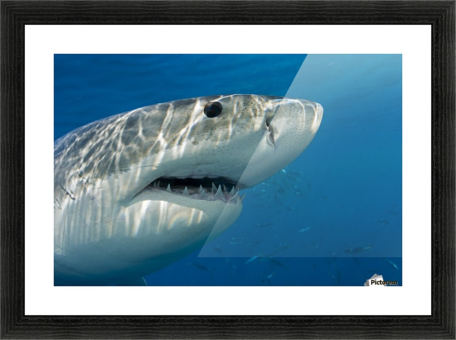 Great white shark (Carcharodon carcharias) just below the water\'s ...