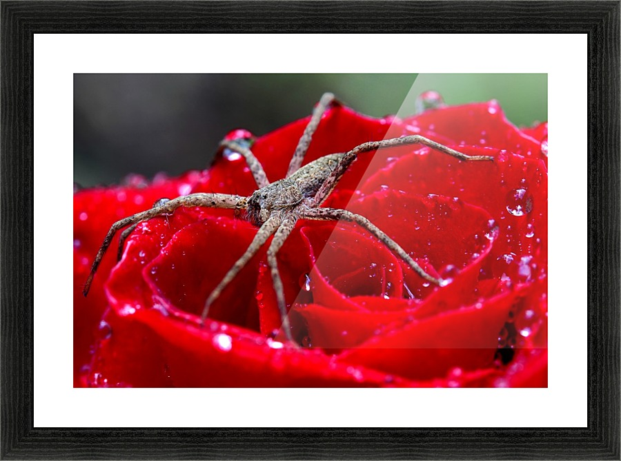 The Spider And The Rose - Michael Eingle - Canvas