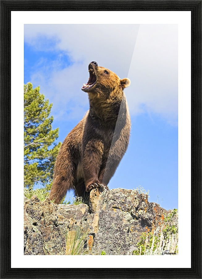 Grizzly Bear Roaring Pacificstock Canvas