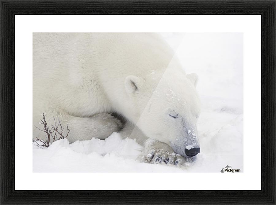 Sleeping Polar Bear - PacificStock Canvas