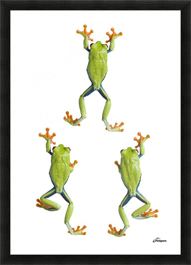 Three Red Eyed Tree Frogs Climbing - PacificStock Canvas