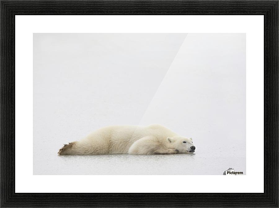Polar Bear Laying Down - PacificStock Canvas