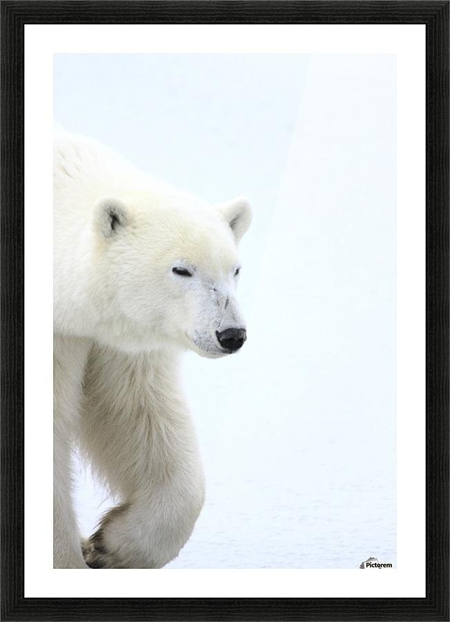 Polar Bear - PacificStock Canvas