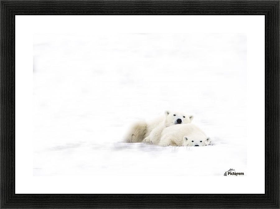Two Polar Bears Snuggling - PacificStock Canvas