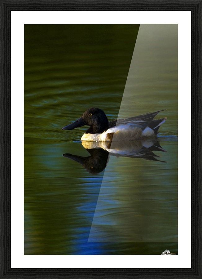 Duck Swimming In The Water - PacificStock Canvas