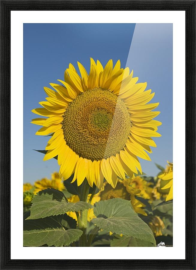 Sunflower - PacificStock Canvas