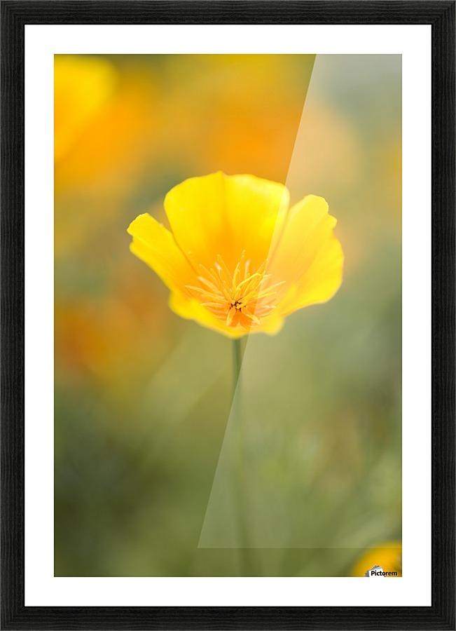 Yellow poppy flower mount hood oregon usa pacificstock canvas yellow poppy flower mount hood oregon usa picture frame printing mightylinksfo