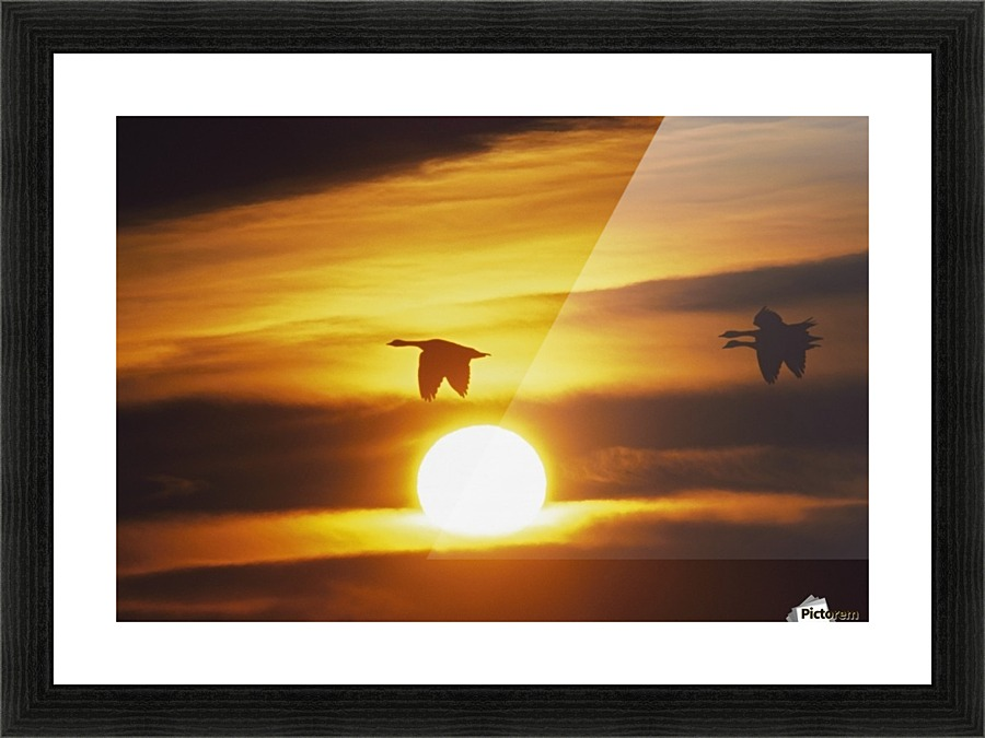 Snow Geese Flying By Sunrise - PacificStock Canvas