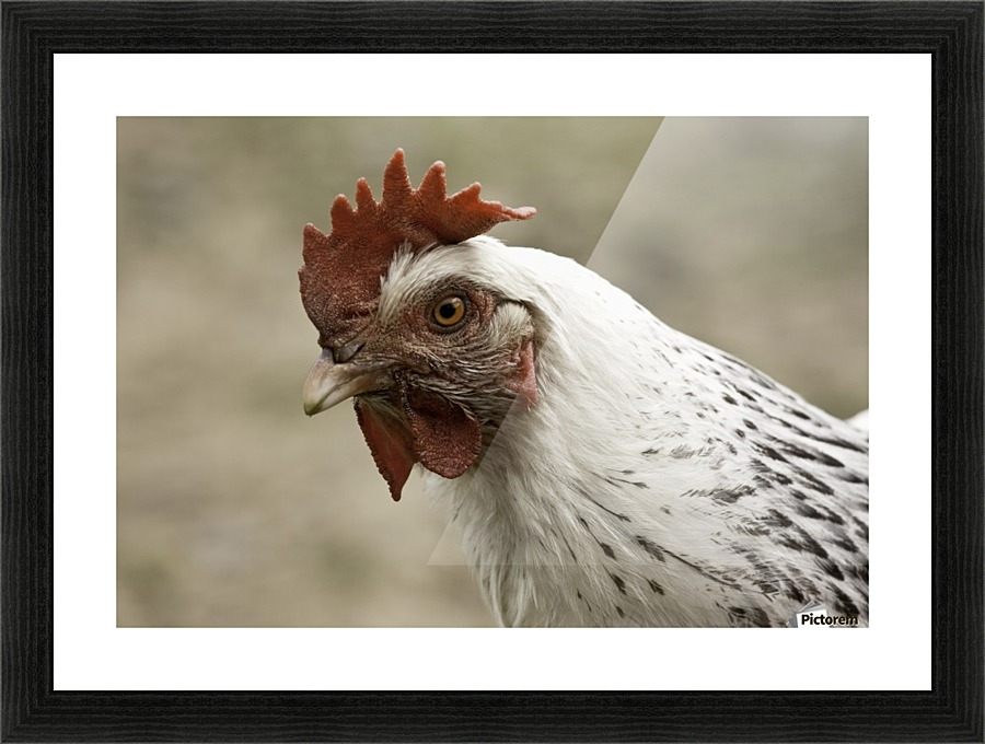 The Head Of A Rooster Pacificstock Canvas