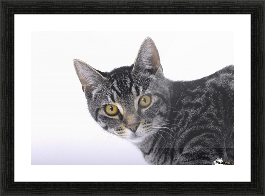 Portrait of a grey tabby cat;Vancouver british columbia canada ...