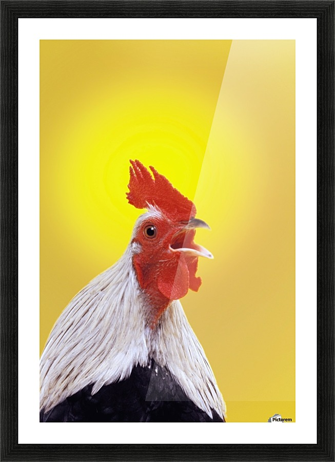 Crowing Roosterbritish Columbia Canada Pacificstock Canvas