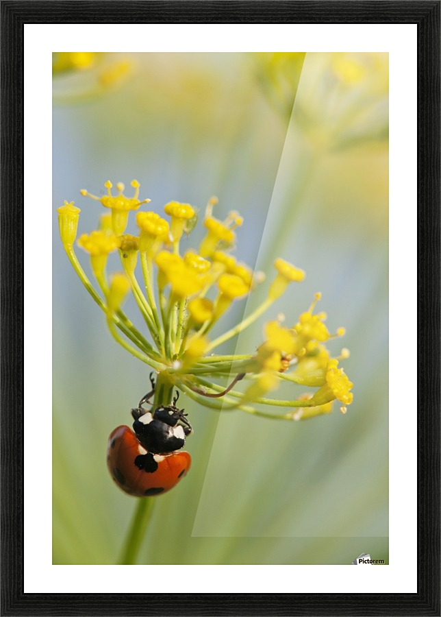 Ladybug On Dill Blossom Astoria Oregon United States Of America