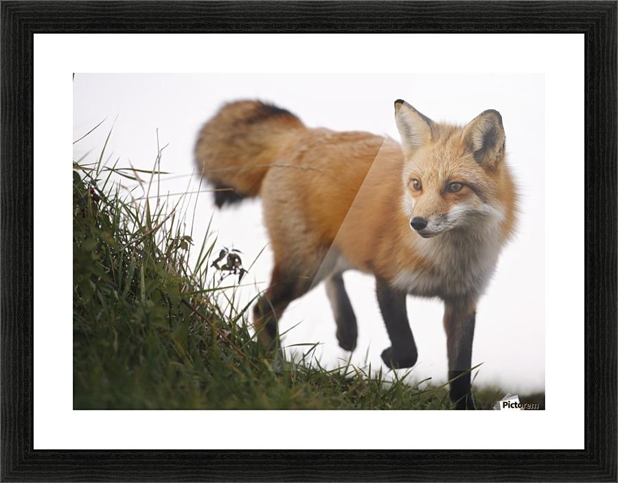 Red Fox Vulpes Vulpes Montreal Quebec Canada Pacificstock Canvas