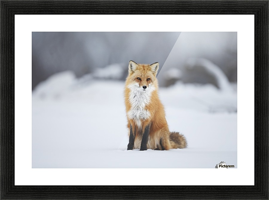 Male Red Fox Vulpes Vulpes Sitting In The Snow In Winter Montreal