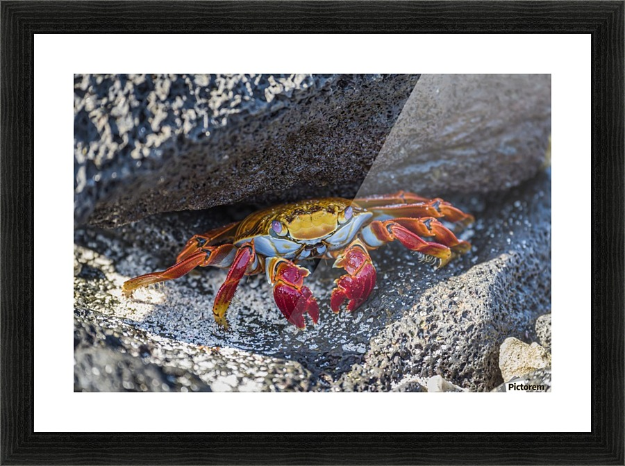 Adult Sally Lightfoot Crab Grapsus Grapsus Under Grey
