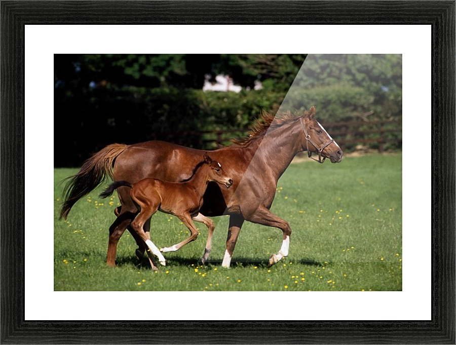 Thoroughbred Mare And Foal Galloping Ireland