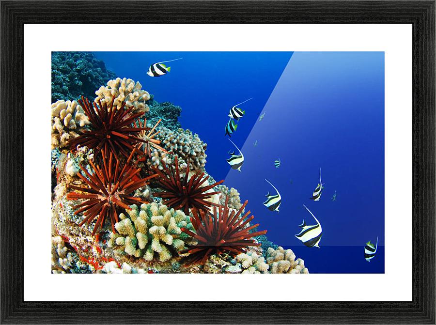 Usa Typical Hawaiian Reef Scene Hawaii Islands Pennant Bannerfish