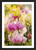 Hawaii, Field Of Pink And Yellow Orchids. Picture Frame print