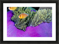 Palau, Anemonefish In Pink Anemone (Amphiprion Perideraion) B1952 Picture Frame print