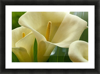 Hawaii, Big Island, Volcano, Calla Lilies, Close-Up B1587 Picture Frame print