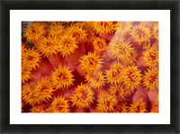 Indonesia Close-Up Top View Of Orange Tube Coral Picture Frame print